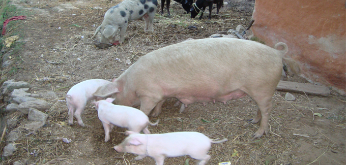 Pig farming to earn 600 hundred Rupees per Year Rakamkarnali